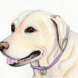 Labrador Pet Portrait