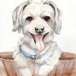 Maltese pet portrait